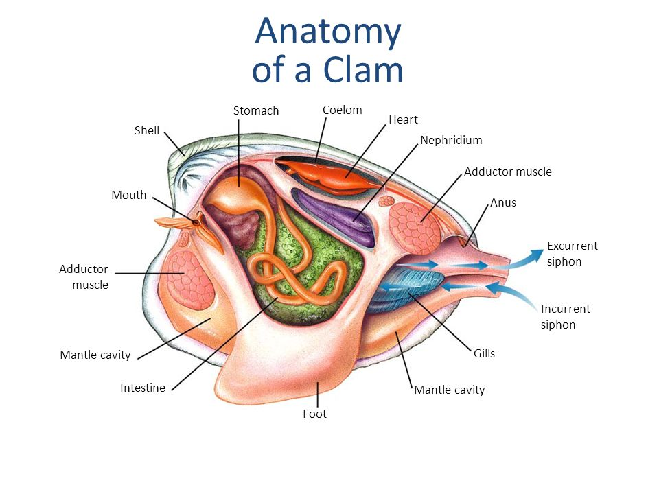 Anatomy of a Clam Section 27-4 Stomach Coelom Heart Shell Nephridium