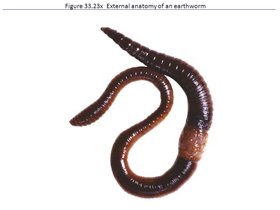 Figure 33.23x External anatomy of an earthworm