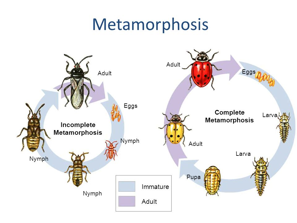 Complete Metamorphosis Incomplete Metamorphosis