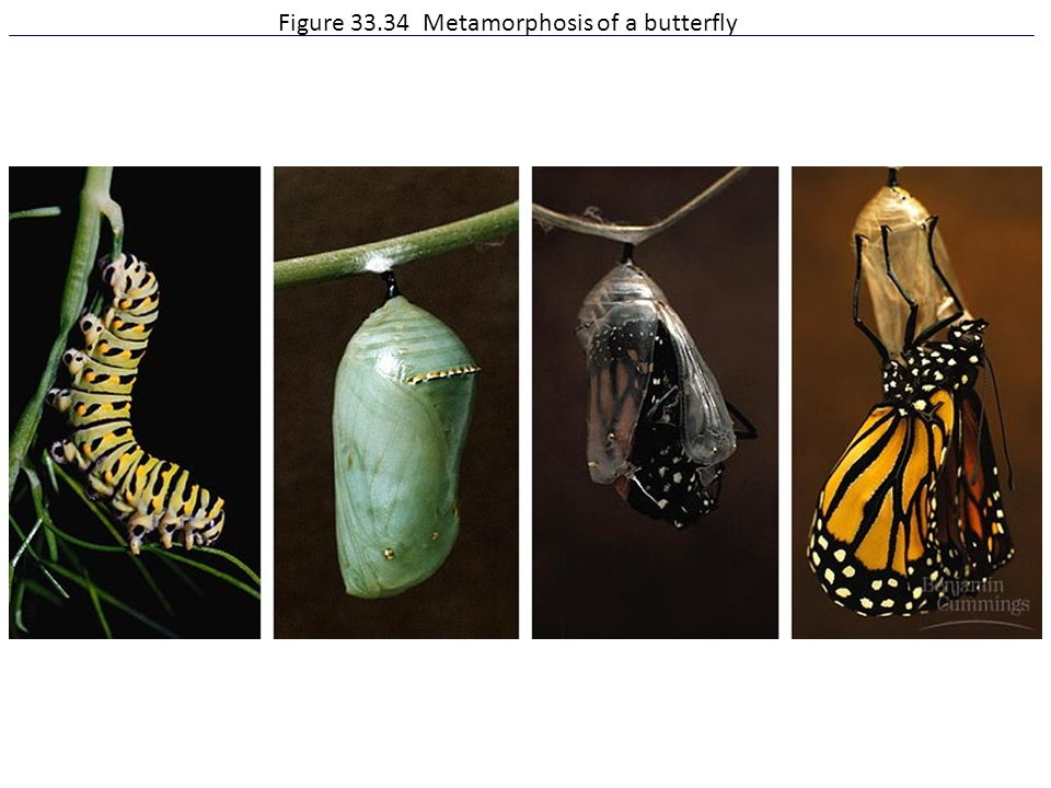 Figure 33.34 Metamorphosis of a butterfly