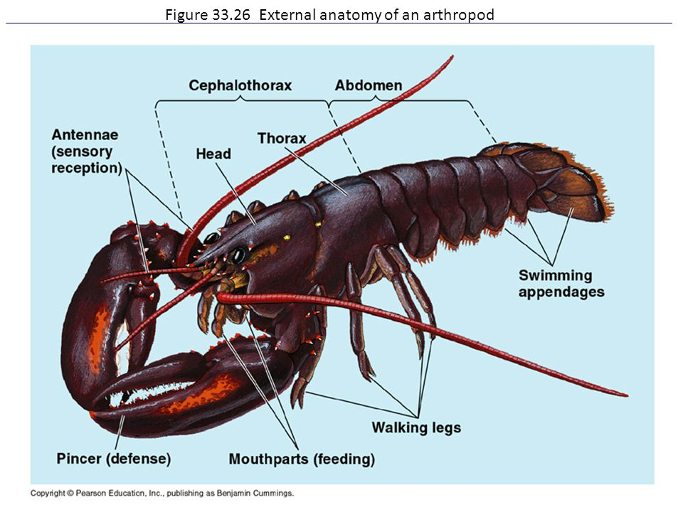 Figure 33.26 External anatomy of an arthropod