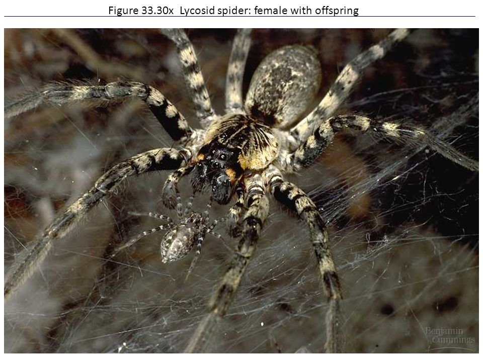 Figure 33.30x Lycosid spider: female with offspring