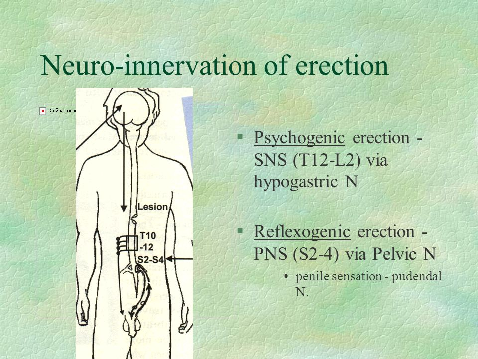 Neuro-innervation of erection