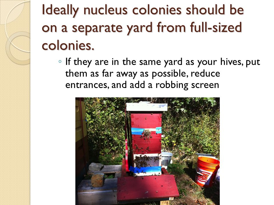 Ideally nucleus colonies should be on a separate yard from full-sized colonies.