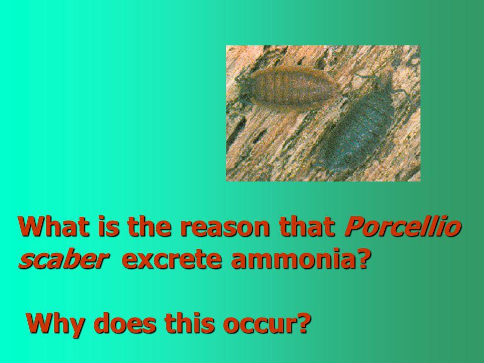 What is the reason that Porcellio scaber excrete ammonia