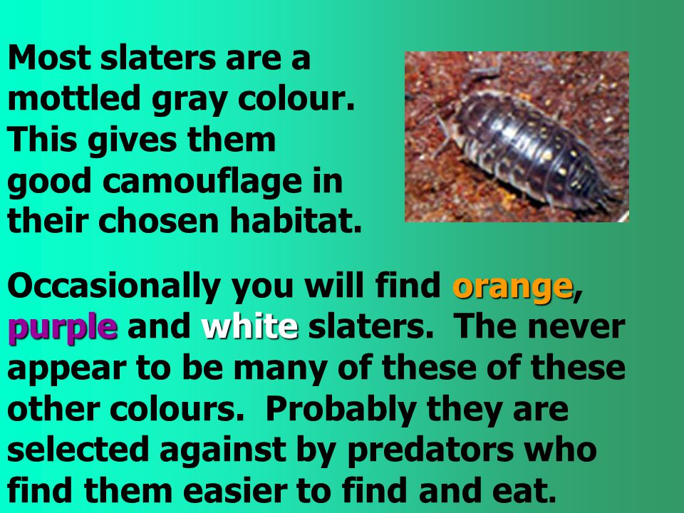 Most slaters are a mottled gray colour