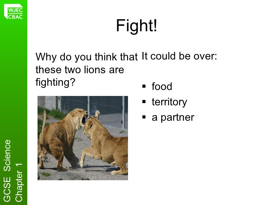 Fight! Why do you think that these two lions are fighting