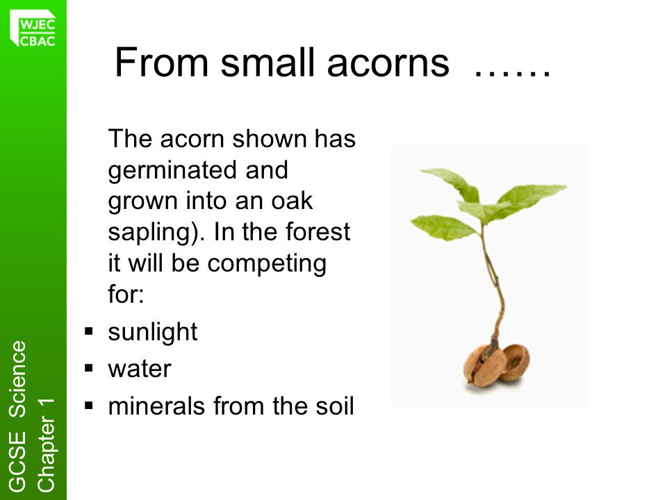 From small acorns …… The acorn shown has germinated and grown into an oak sapling). In the forest it will be competing for:
