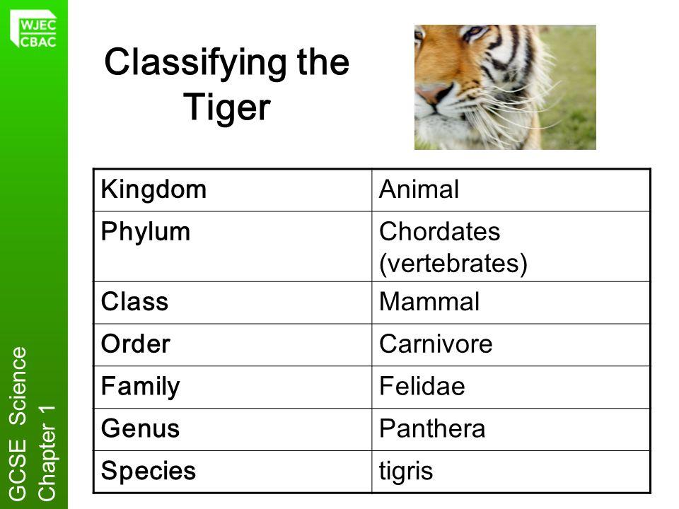 Classifying the Tiger Kingdom Animal Phylum Chordates (vertebrates)