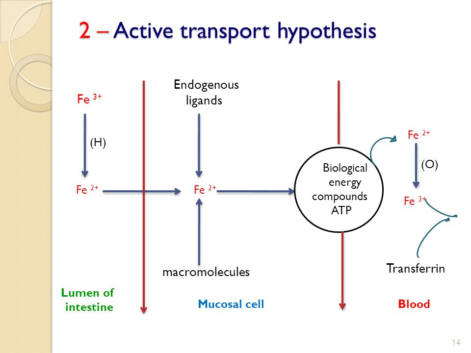 2 – Active transport hypothesis