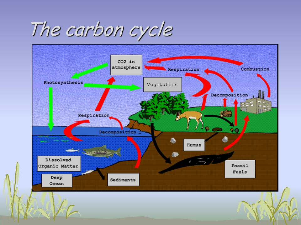 The carbon cycle Vegetation
