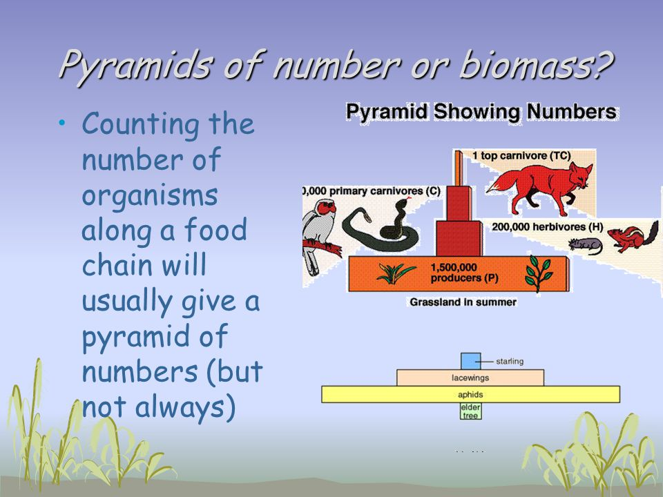 Pyramids of number or biomass
