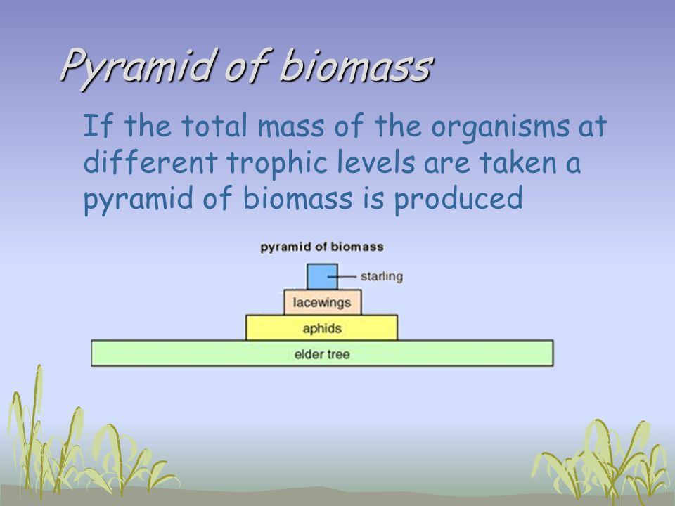 Pyramid of biomass If the total mass of the organisms at different trophic levels are taken a pyramid of biomass is produced.