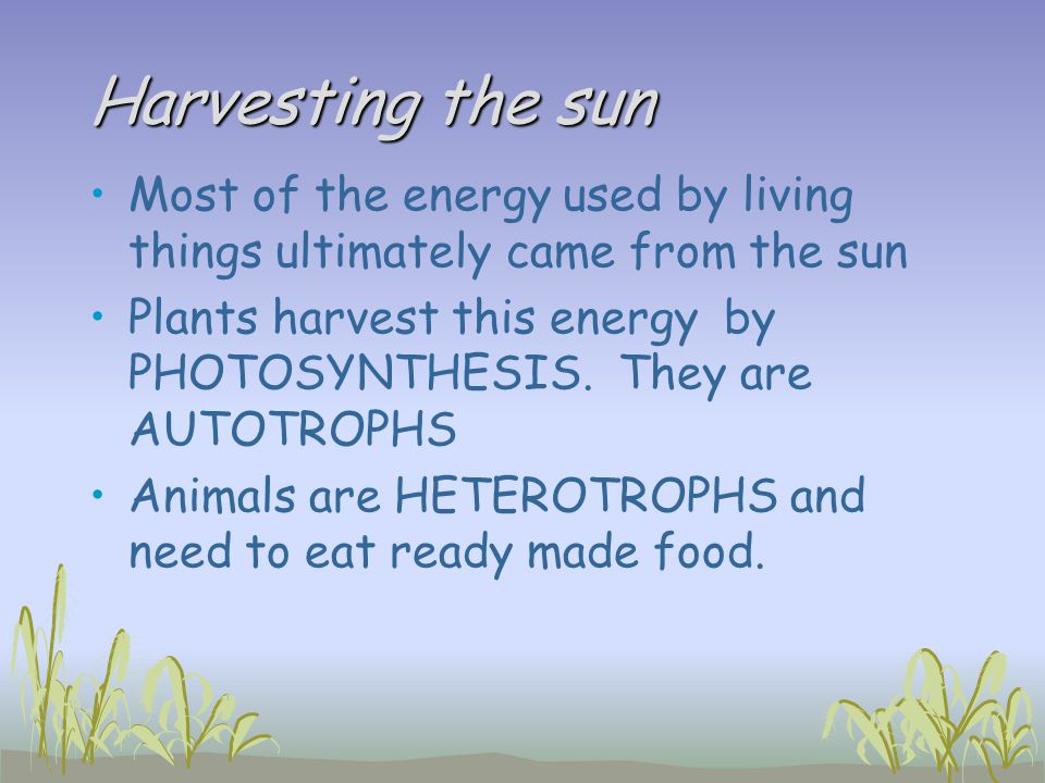 Harvesting the sun Most of the energy used by living things ultimately came from the sun.
