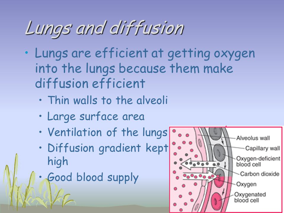 Lungs and diffusion Lungs are efficient at getting oxygen into the lungs because them make diffusion efficient.