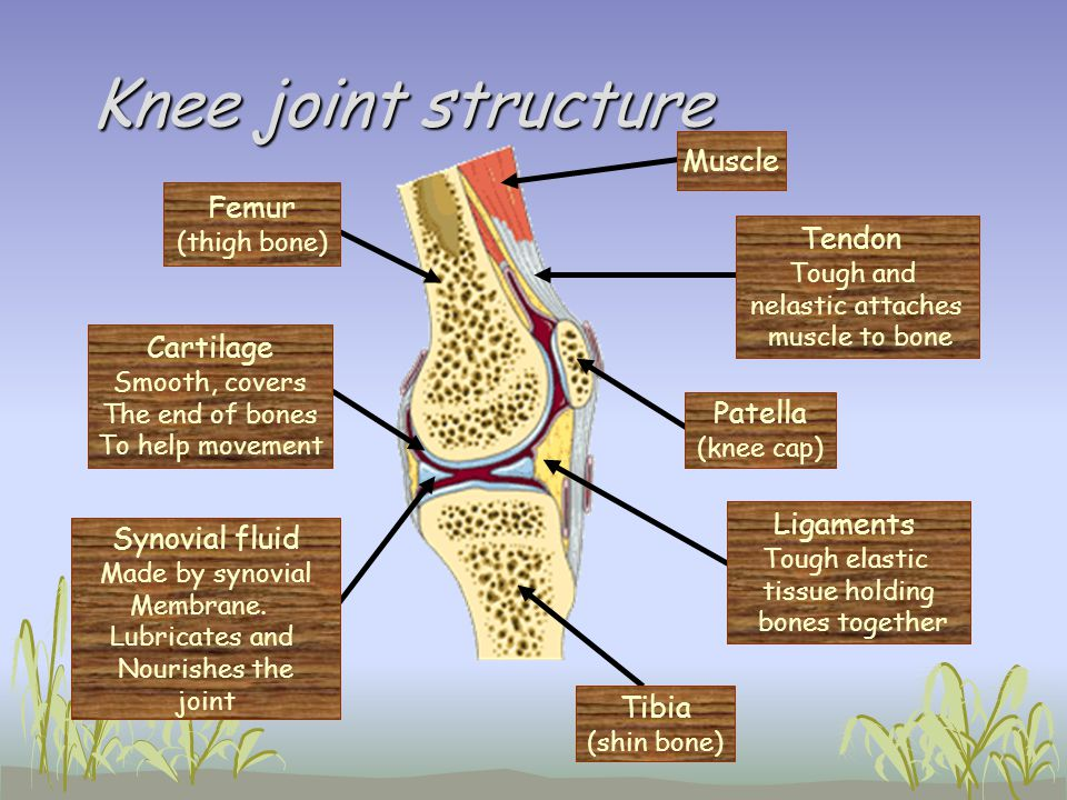 Knee joint structure Muscle Femur Tendon Cartilage Patella Ligaments
