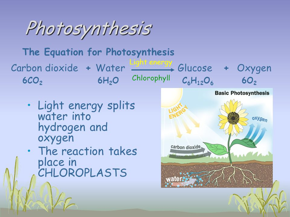 Photosynthesis Light energy splits water into hydrogen and oxygen