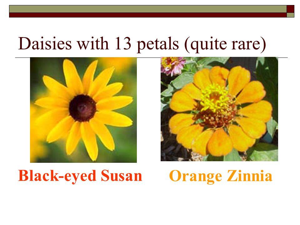 Daisies with 13 petals (quite rare)