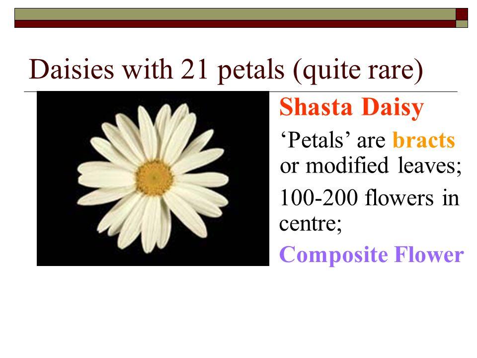 Daisies with 21 petals (quite rare)