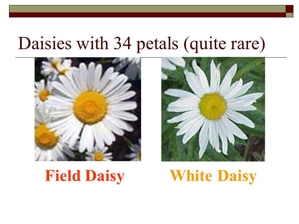 Daisies with 34 petals (quite rare)