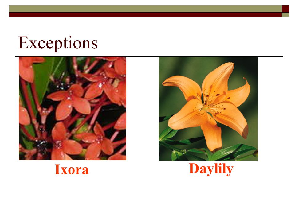 Exceptions Ixora Daylily
