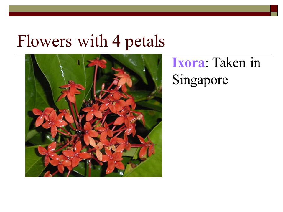 Flowers with 4 petals Ixora: Taken in Singapore