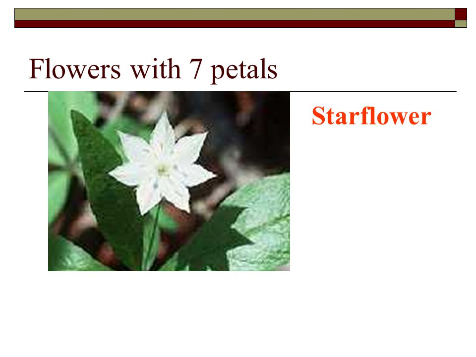 Flowers with 7 petals Starflower