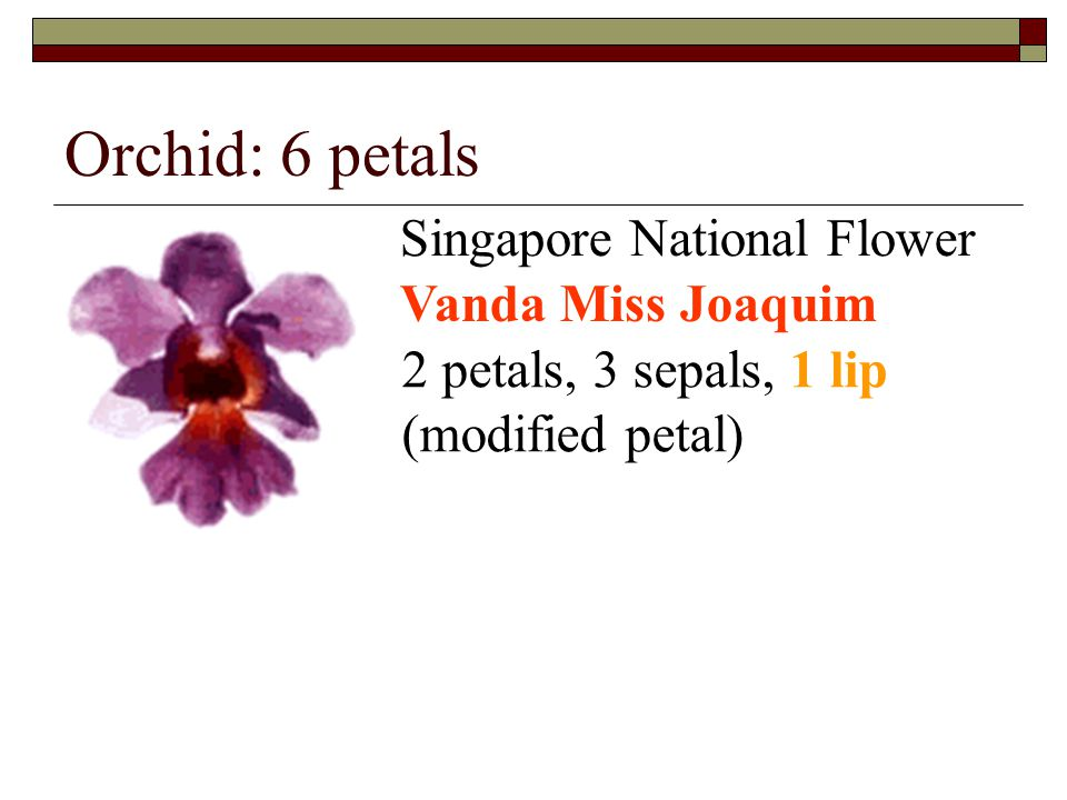 Orchid: 6 petals Singapore National Flower Vanda Miss Joaquim