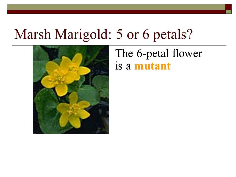 Marsh Marigold: 5 or 6 petals