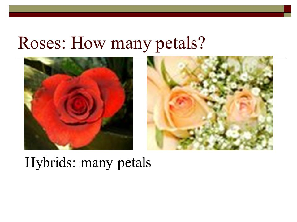Roses: How many petals Hybrids: many petals