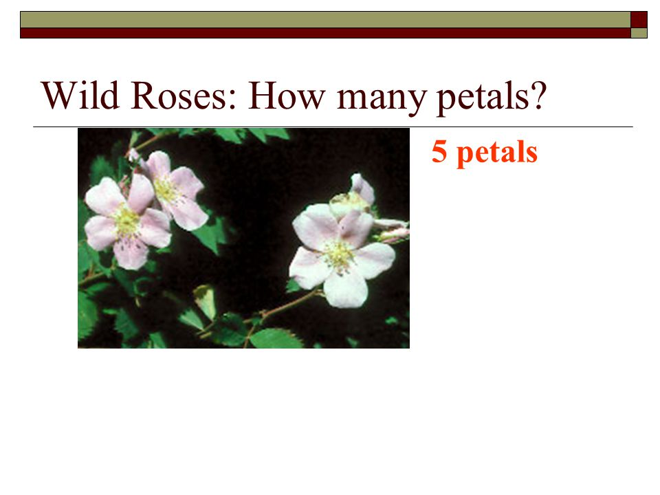 Wild Roses: How many petals