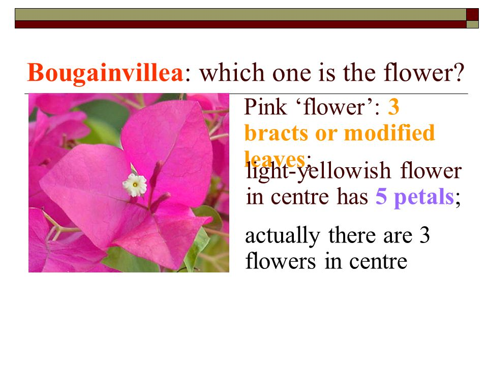 Bougainvillea: which one is the flower