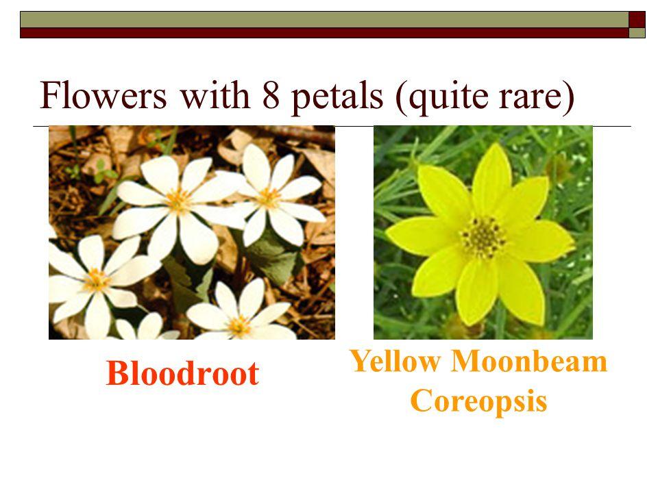 Flowers with 8 petals (quite rare)