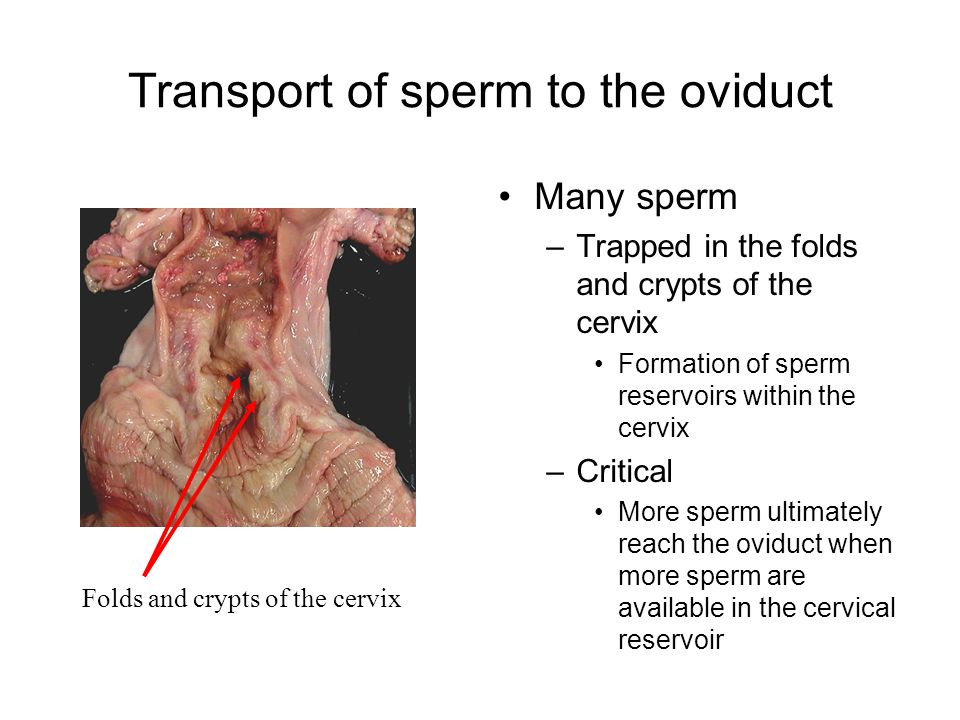 Transport of sperm to the oviduct