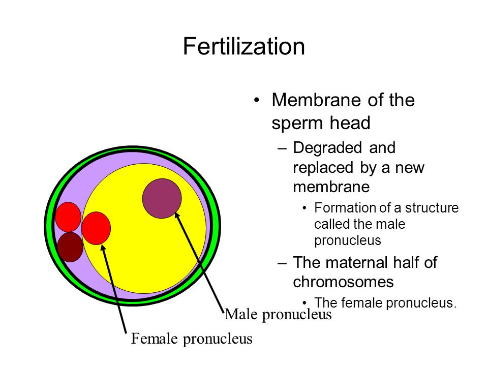 Fertilization Membrane of the sperm head