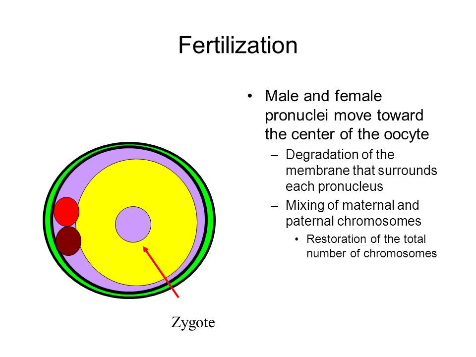 Fertilization Male and female pronuclei move toward the center of the oocyte. Degradation of the membrane that surrounds each pronucleus.