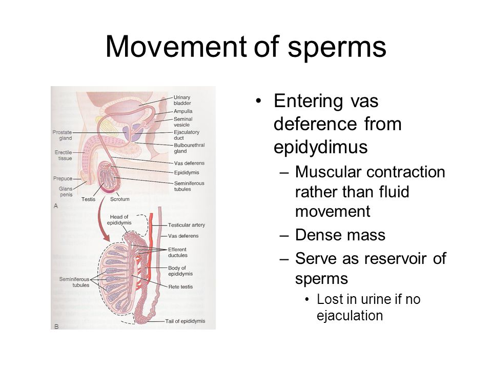 Movement of sperms Entering vas deference from epidydimus