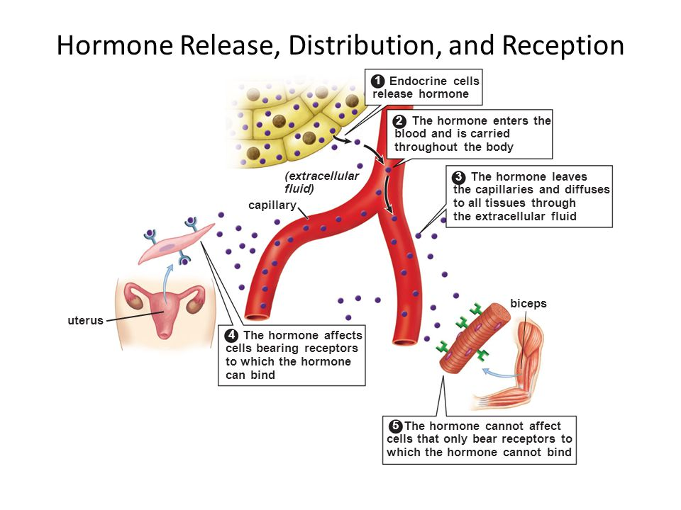Hormone Release, Distribution, and Reception