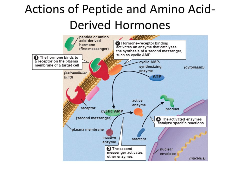 Actions of Peptide and Amino Acid-Derived Hormones