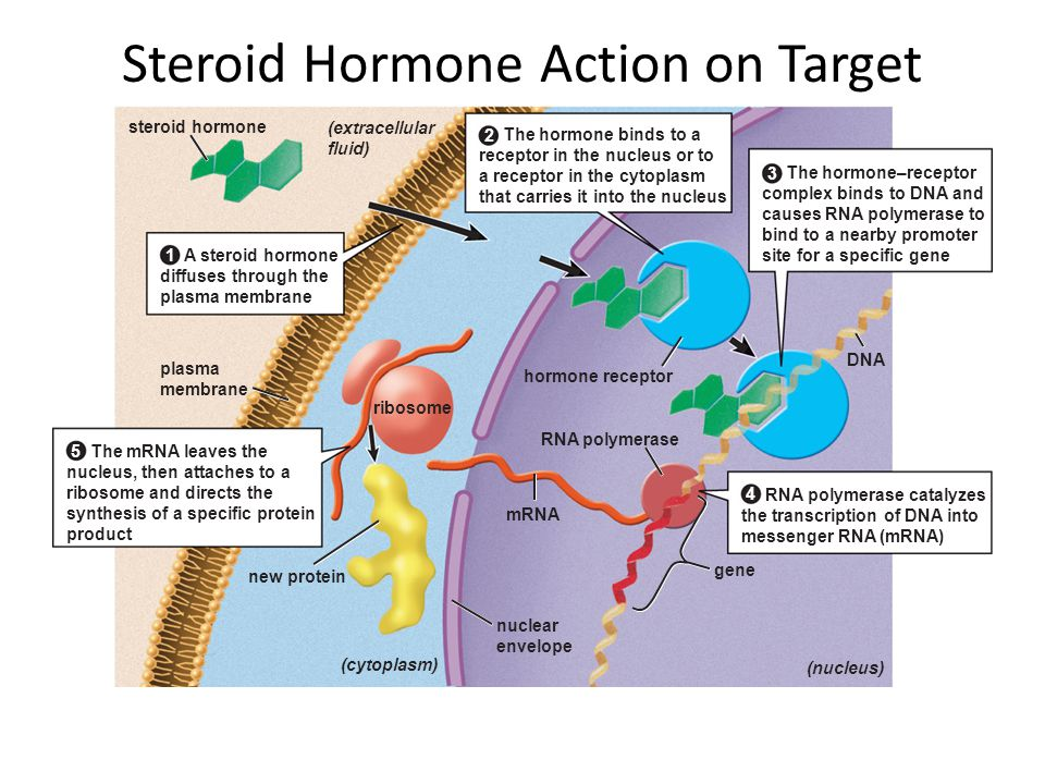 Steroid Hormone Action on Target Cells