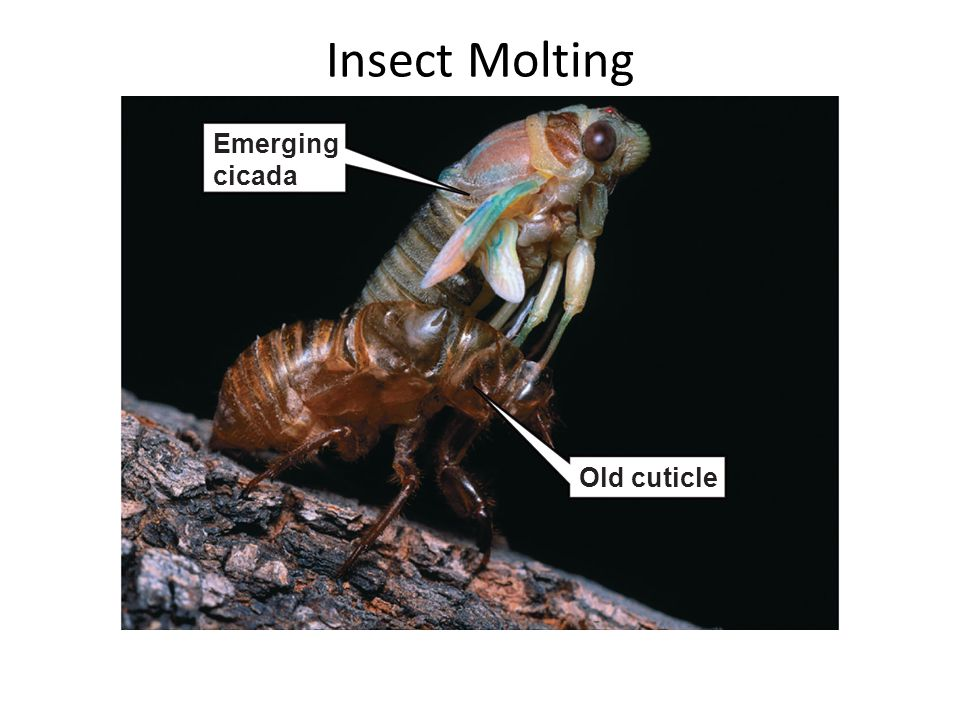 Insect Molting Emerging cicada Old cuticle