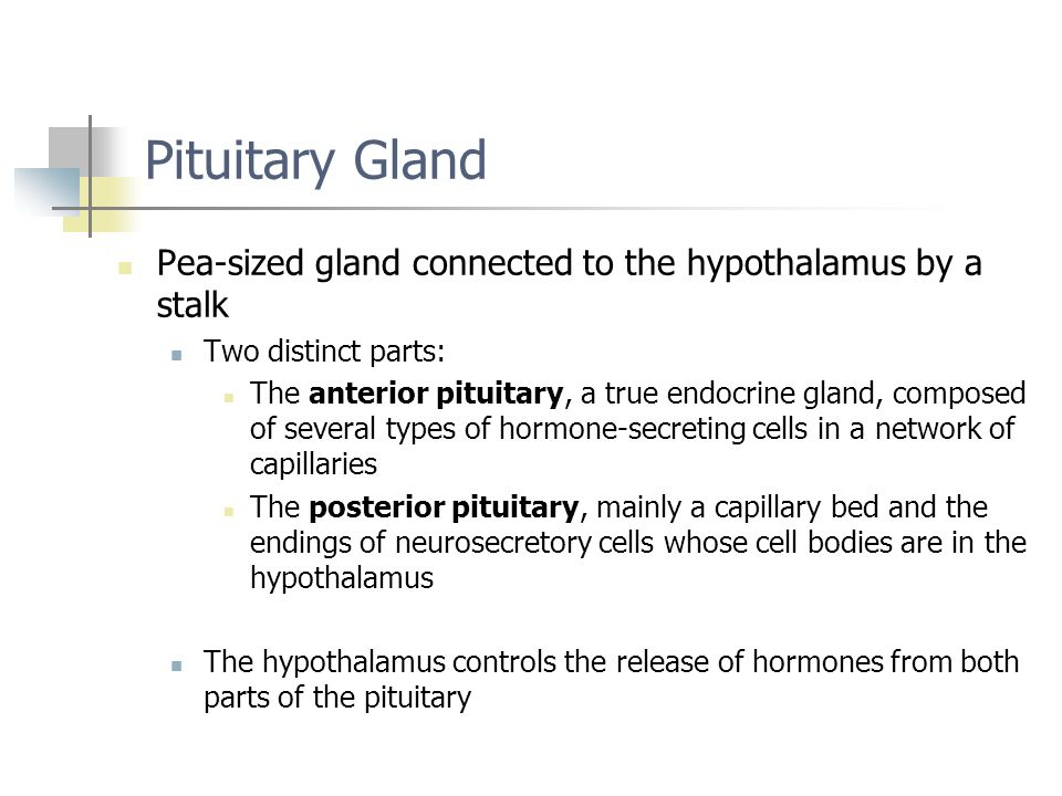 Pituitary Gland Pea-sized gland connected to the hypothalamus by a stalk. Two distinct parts: