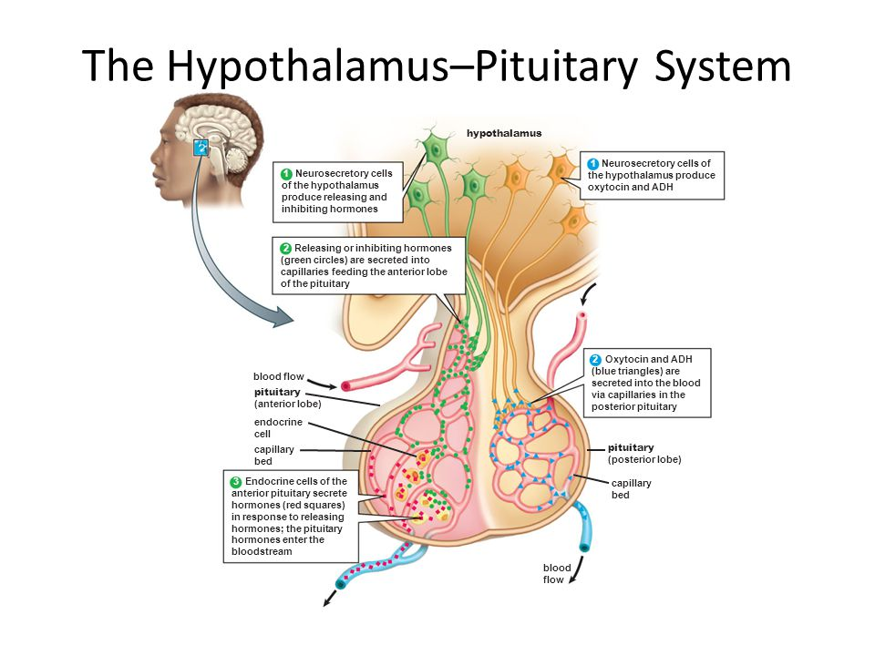 The Hypothalamus–Pituitary System