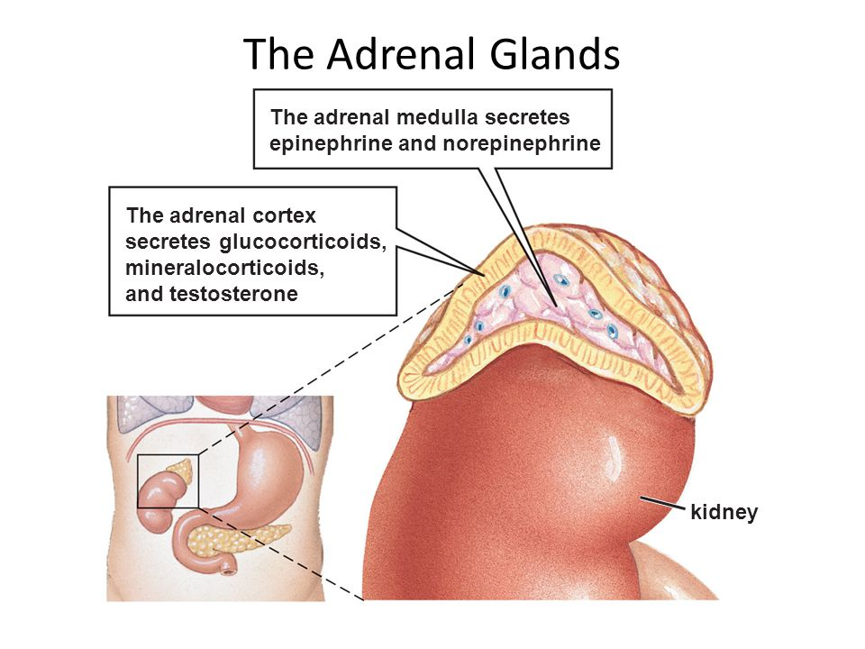 The Adrenal Glands The adrenal medulla secretes