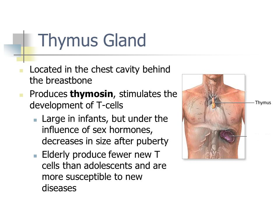 Thymus Gland Located in the chest cavity behind the breastbone
