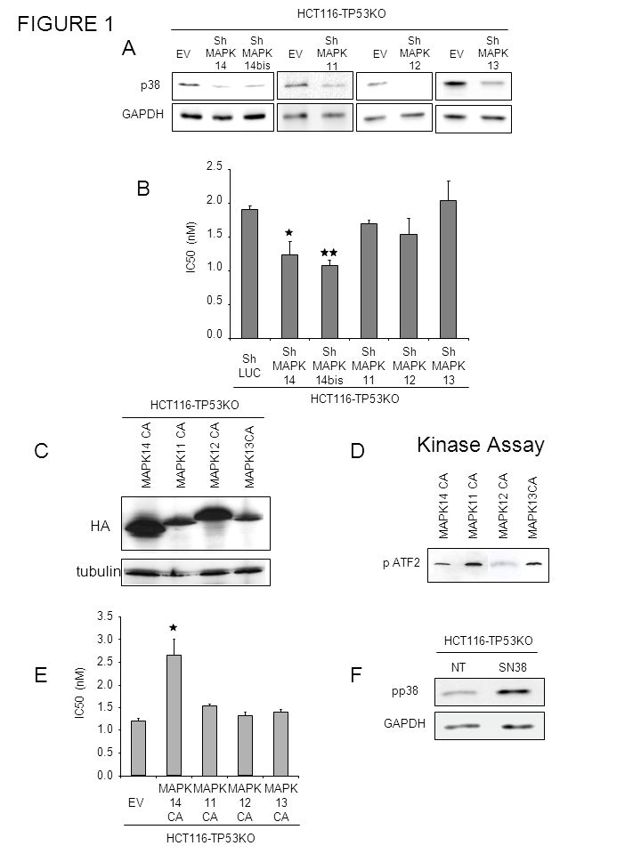 FIGURE 1 A B Kinase Assay C D E F HA tubulin p38 HCT116-TP53KO GAPDH