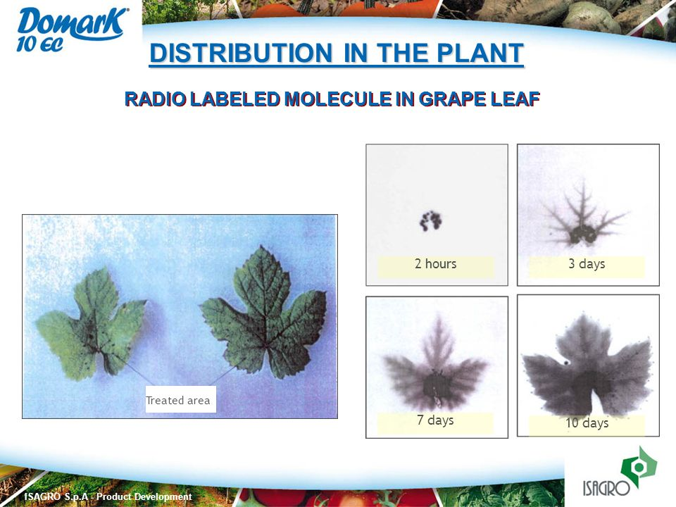RADIO LABELED MOLECULE IN GRAPE LEAF