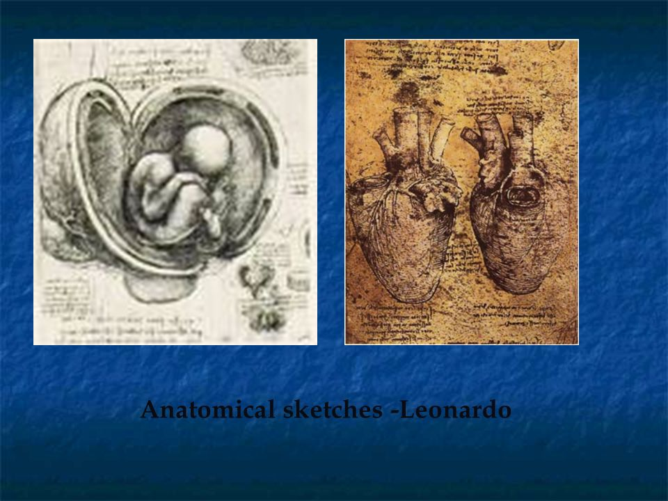 Anatomical sketches -Leonardo