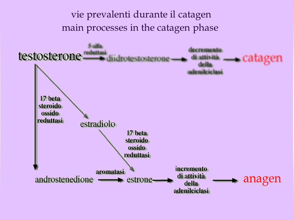 vie prevalenti durante il catagen
