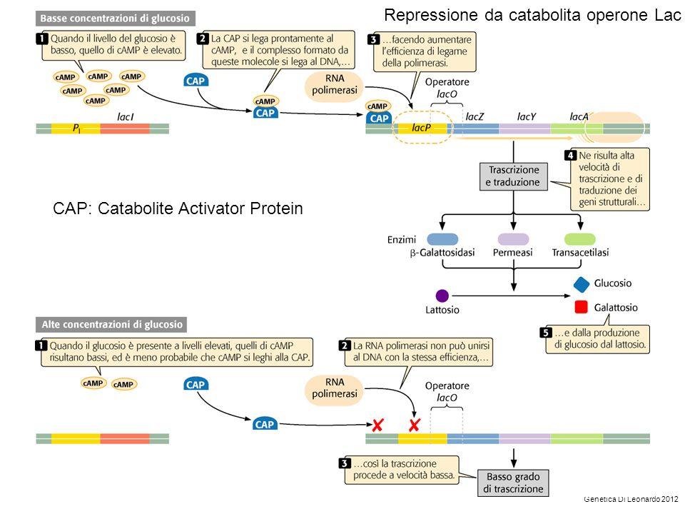 Repressione da catabolita operone Lac